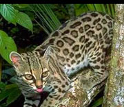 Margay, Rio Bravo, Belize wildlife