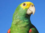 Parrot, Belize bird watching and wildlife