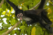 Spider Monkey, Gallon Jug, Belize wildlife