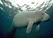 Caribbean Manatee, Placencia Lagoon, Belize dive snorkel underwater photography