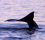 Whale Watching Baja California Cruise Grey Blue Humpback